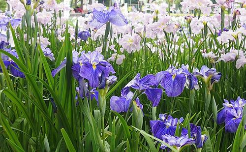 2.【母の日ギフトにおすすめの花】カキツバタ